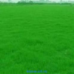 Семена травы для вечнозеленого газона